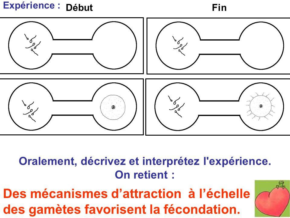 Des mécanismes dattraction à léchelle des gamètes favorisent la fécondation. Oralement, décrivez et interprétez l'expérience. On retient : Expérience