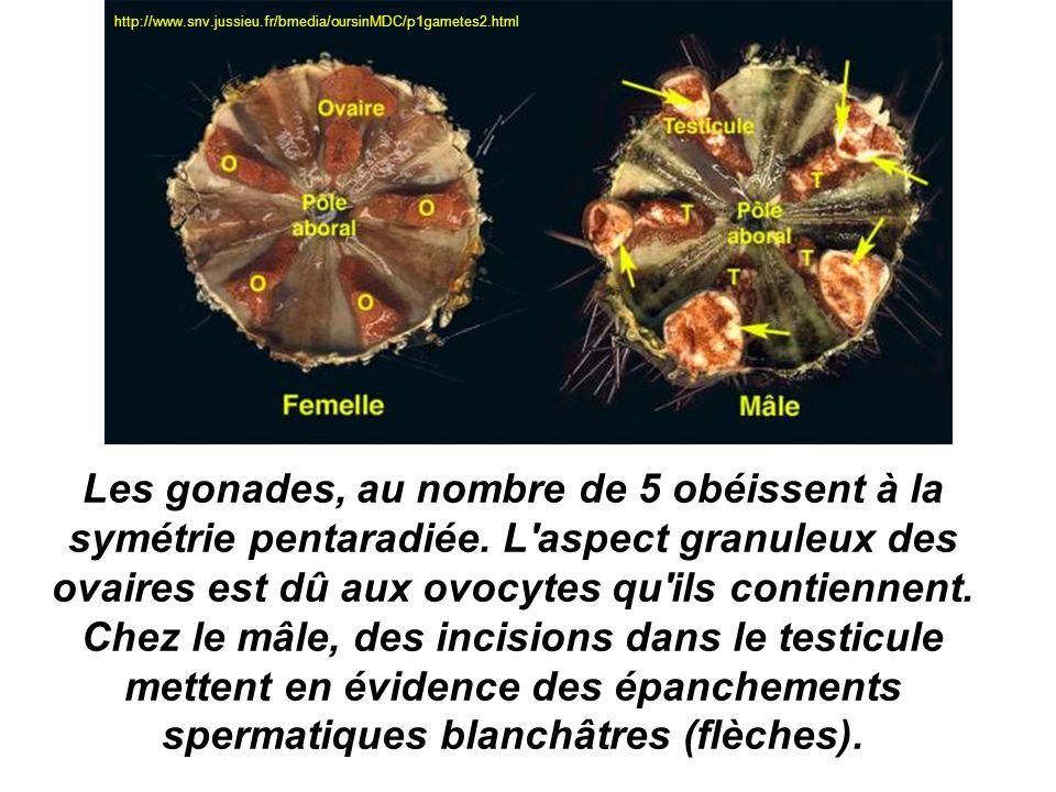 Les gonades, au nombre de 5 obéissent à la symétrie pentaradiée. L'aspect granuleux des ovaires est dû aux ovocytes qu'ils contiennent. Chez le mâle,