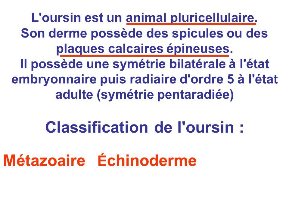 L'oursin est un animal pluricellulaire. Son derme possède des spicules ou des plaques calcaires épineuses. Il possède une symétrie bilatérale à l'état