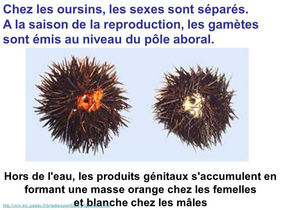 Chez les oursins, les sexes sont séparés. A la saison de la reproduction, les gamètes sont émis au niveau du pôle aboral. Hors de l'eau, les produits