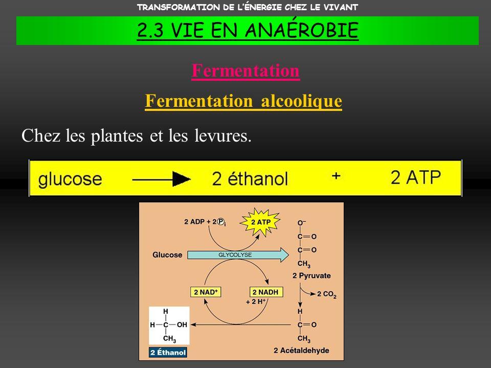 TRANSFORMATION DE LÉNERGIE CHEZ LE VIVANT 2.3 VIE EN ANAÉROBIE Fermentation Fermentation alcoolique Chez les plantes et les levures.