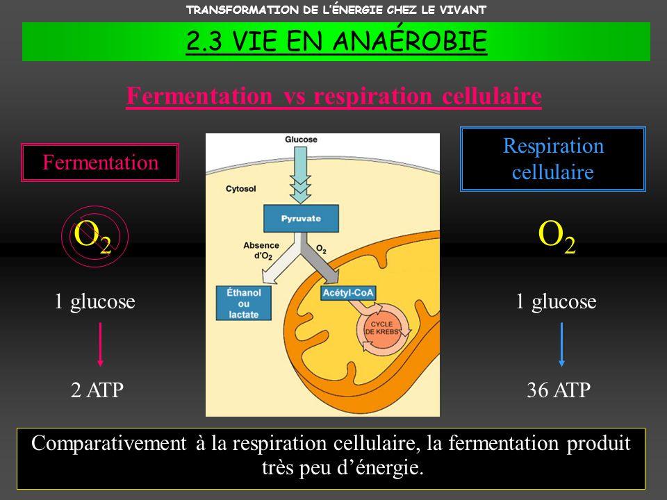 TRANSFORMATION DE LÉNERGIE CHEZ LE VIVANT 2.3 VIE EN ANAÉROBIE Fermentation vs respiration cellulaire Comparativement à la respiration cellulaire, la