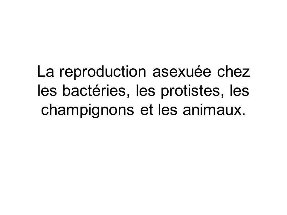La reproduction asexuée chez les bactéries, les protistes, les champignons et les animaux.