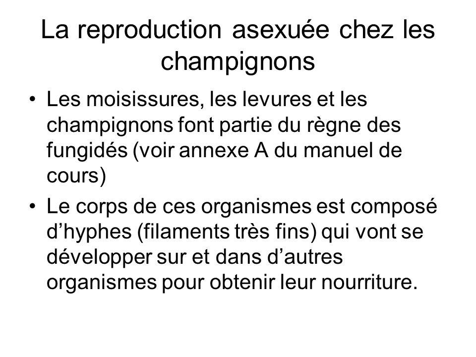 Les champignons utilisent 3 méthodes pour se reproduire de façon asexuée: –La fragmentation –Le bourgeonnement –La spore