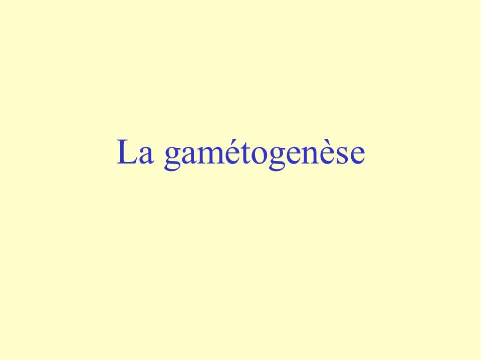 Plus tard durant la période foetale 2n=46 1 ovogonie 1 ovocyte I (après croissance) Grosse différence avec la spermatogenèse: pas de mitose!
