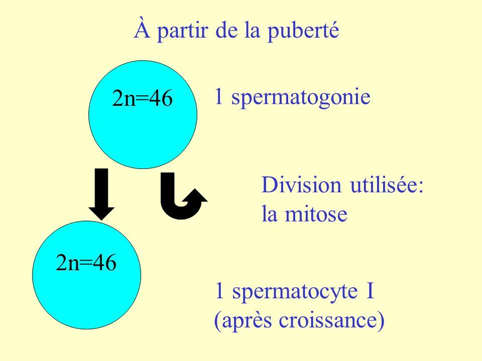 Première partie de la méiose n = 23 1 spermatocyte I 2 spermatocytes II 2n = 46