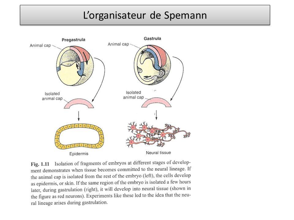 Lorganisateur de Spemann