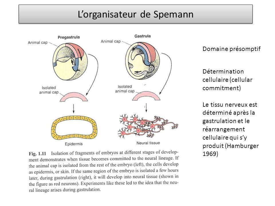 Domaine présomptif Détermination cellulaire (cellular commitment) Le tissu nerveux est déterminé après la gastrulation et le réarrangement cellulaire