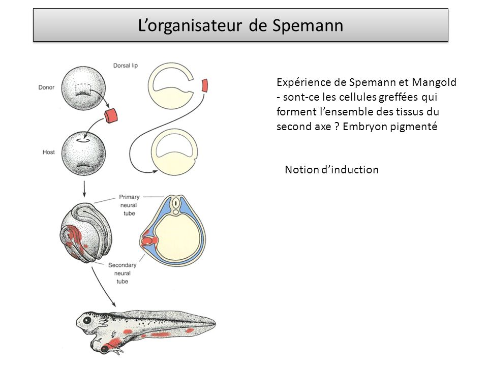 Lorganisateur de Spemann Expérience de Spemann et Mangold - sont-ce les cellules greffées qui forment lensemble des tissus du second axe ? Embryon pig