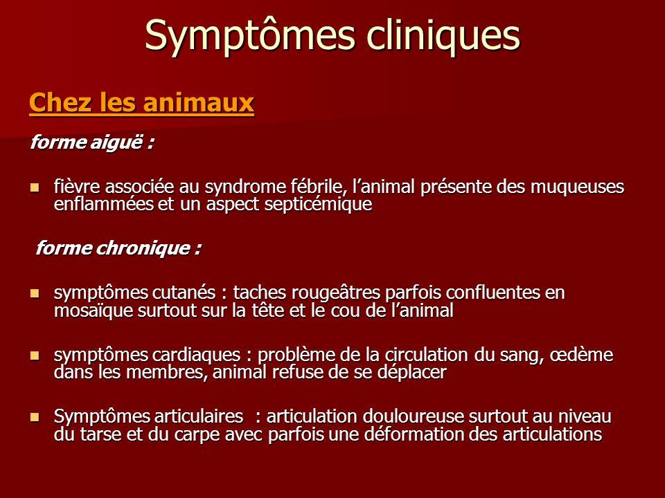 Symptômes cliniques Chez les animaux forme aiguë : fièvre associée au syndrome fébrile, lanimal présente des muqueuses enflammées et un aspect septicé