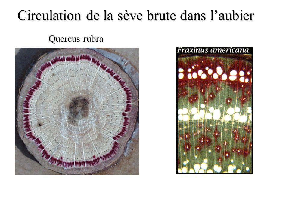 Circulation de la sève brute dans laubier Quercus rubra