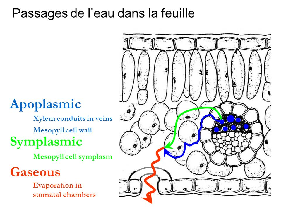 Passages de leau dans la feuille Apoplasmic Symplasmic Gaseous Mesopyll cell wall Mesopyll cell symplasm Evaporation in stomatal chambers Xylem condui