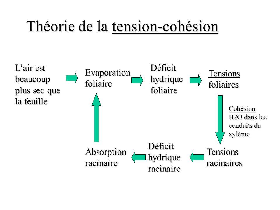 Théorie de la tension-cohésion Lair est beaucoup plus sec que la feuille Evaporation foliaire Déficit hydrique foliaire Tensions foliaires Cohésion H2O dans les conduits du xylème Tensions racinaires Déficit hydrique racinaire Absorption racinaire