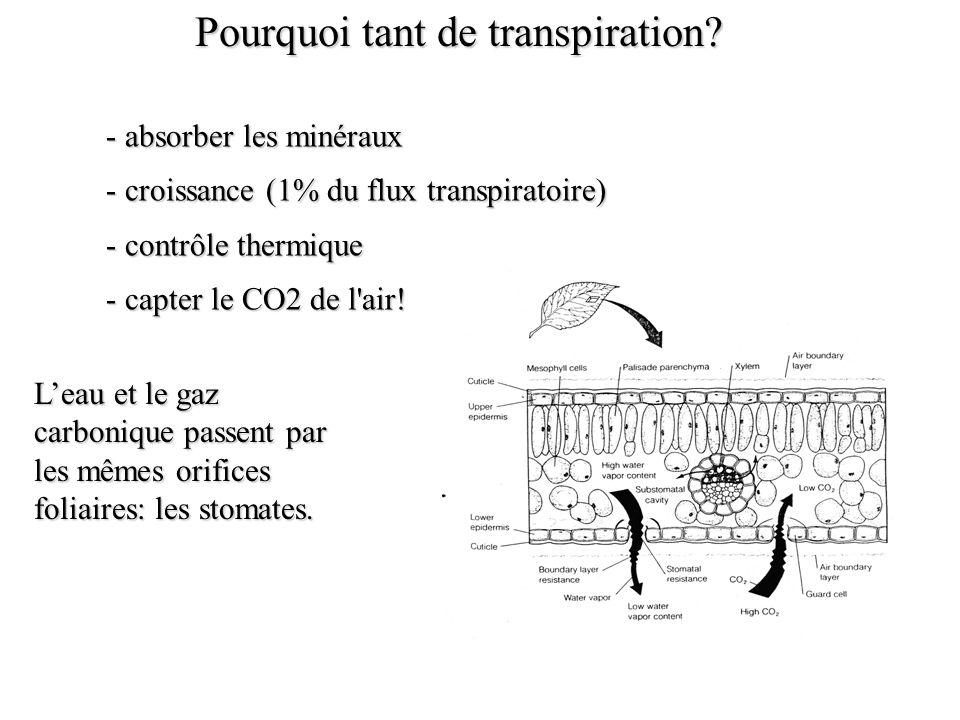 - absorber les minéraux - croissance (1% du flux transpiratoire) - contrôle thermique - capter le CO2 de l air.