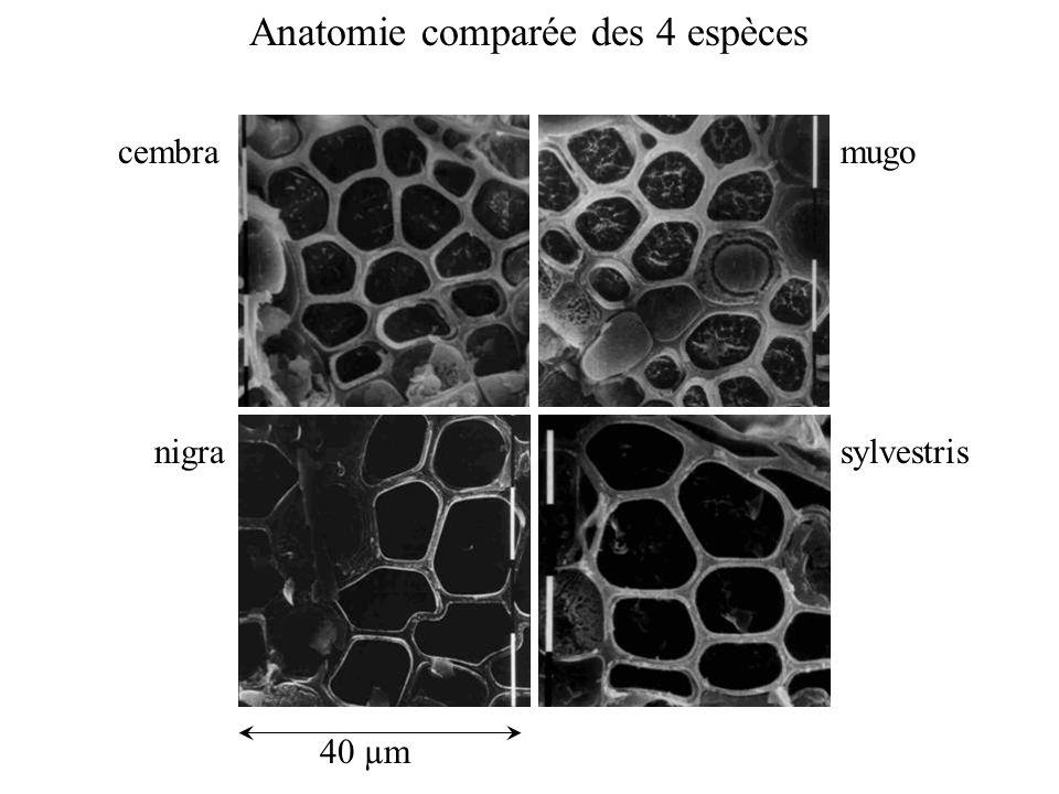cembramugo nigrasylvestris 40 µm Anatomie comparée des 4 espèces