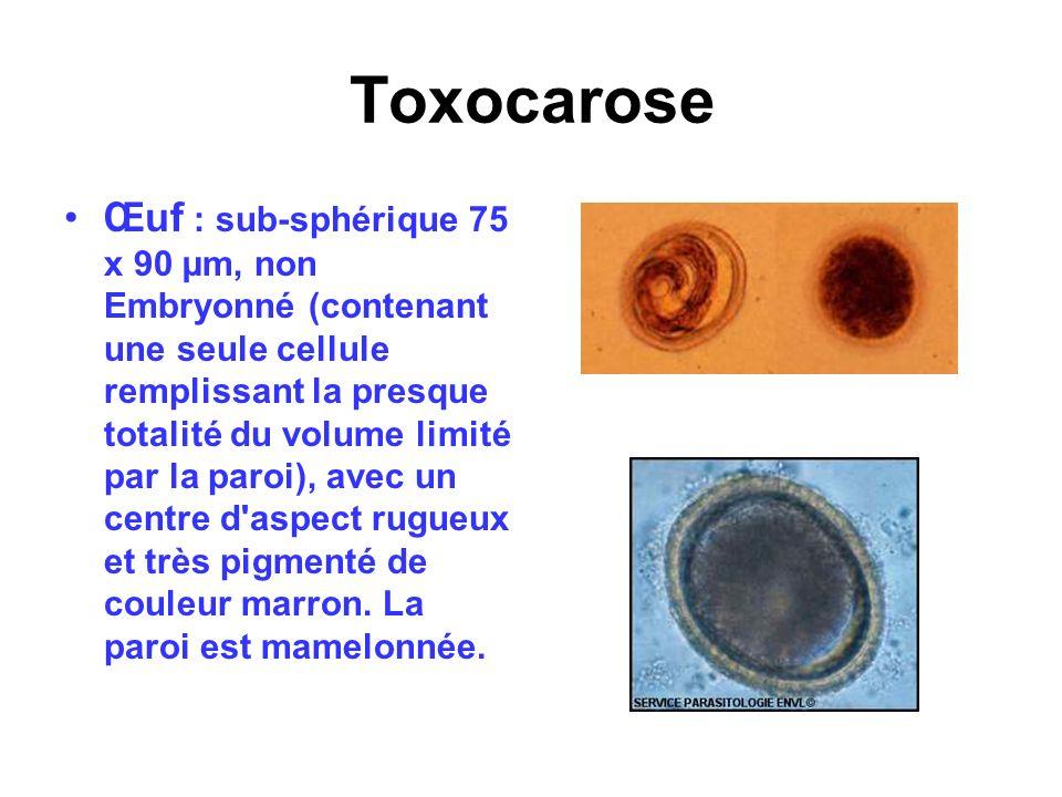 Toxocarose Œuf : sub-sphérique 75 x 90 µm, non Embryonné (contenant une seule cellule remplissant la presque totalité du volume limité par la paroi),