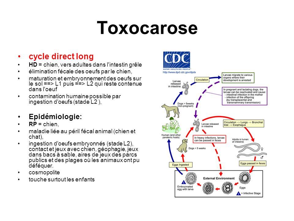 Toxocarose cycle direct long HD = chien, vers adultes dans l'intestin grêle élimination fécale des oeufs par le chien, maturation et embryonnement des