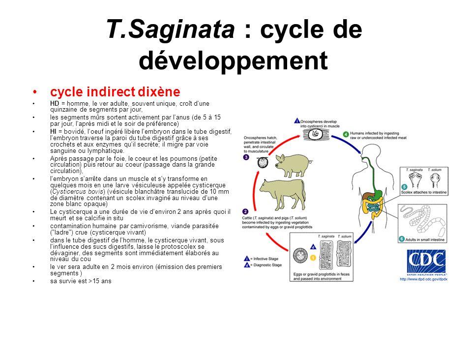 T.Saginata : cycle de développement cycle indirect dixène HD = homme, le ver adulte, souvent unique, croît d'une quinzaine de segments par jour, les s
