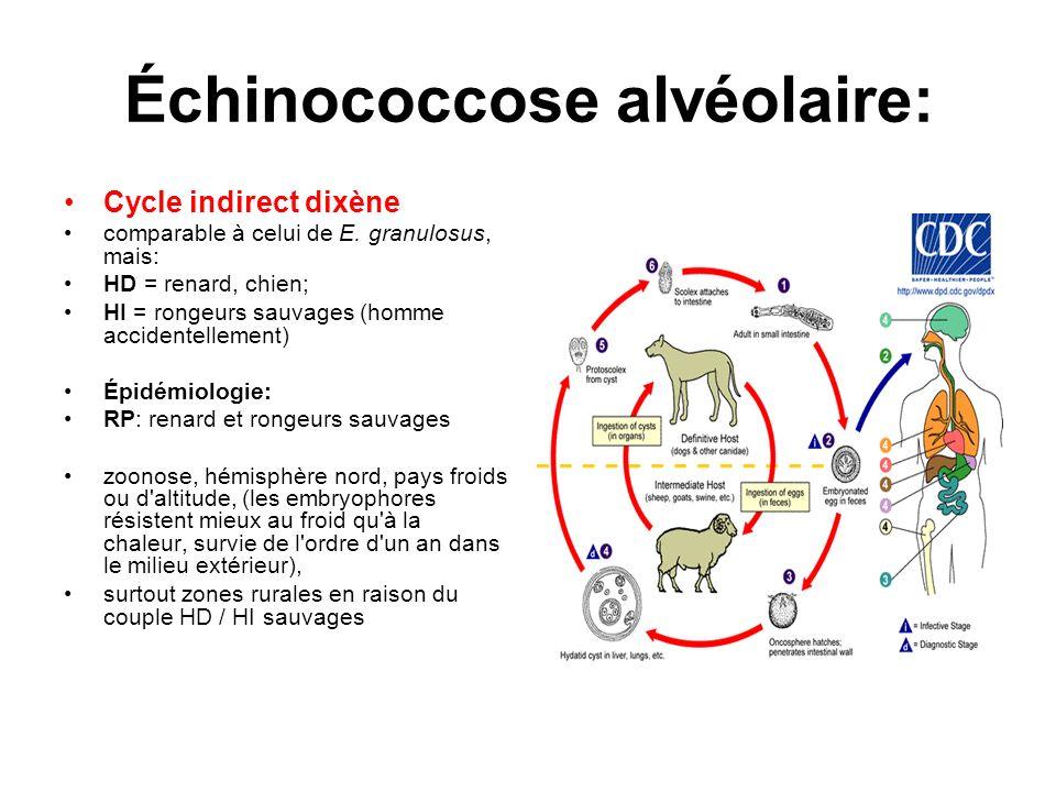 Échinococcose alvéolaire: Cycle indirect dixène comparable à celui de E. granulosus, mais: HD = renard, chien; HI = rongeurs sauvages (homme accidente