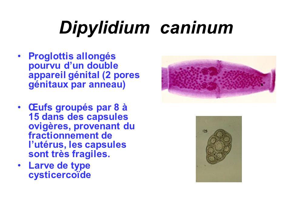 Dipylidium caninum Proglottis allongés pourvu dun double appareil génital (2 pores génitaux par anneau) Œufs groupés par 8 à 15 dans des capsules ovig