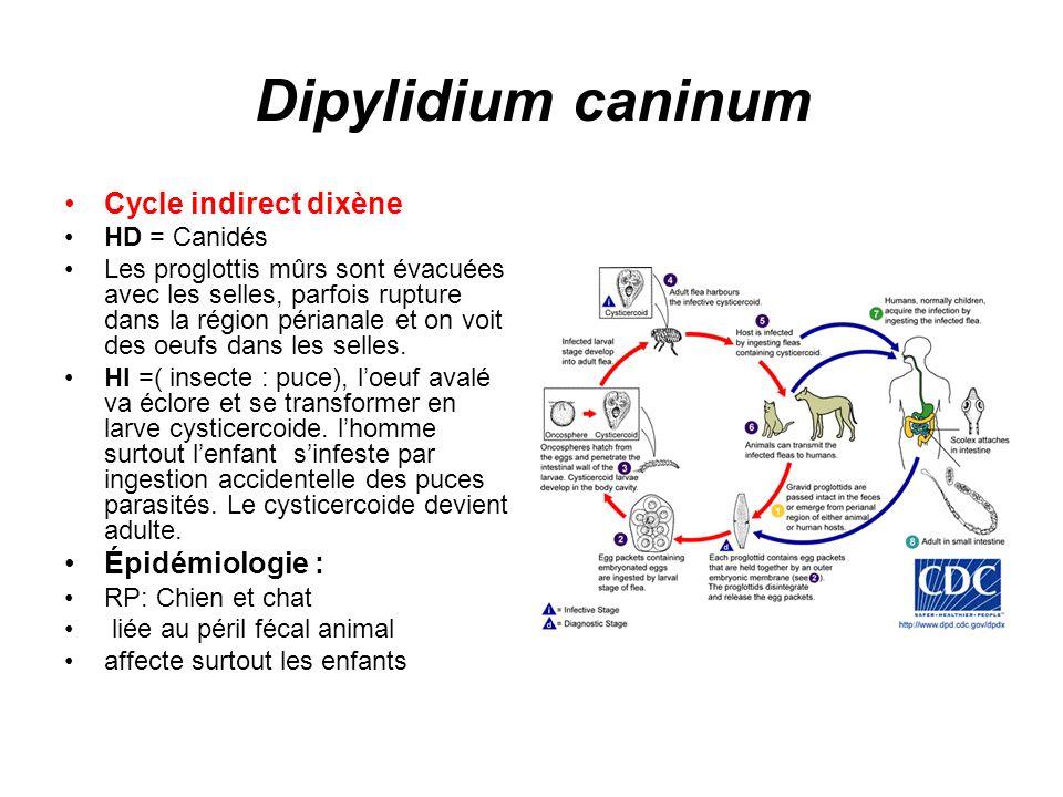 Dipylidium caninum Cycle indirect dixène HD = Canidés Les proglottis mûrs sont évacuées avec les selles, parfois rupture dans la région périanale et o