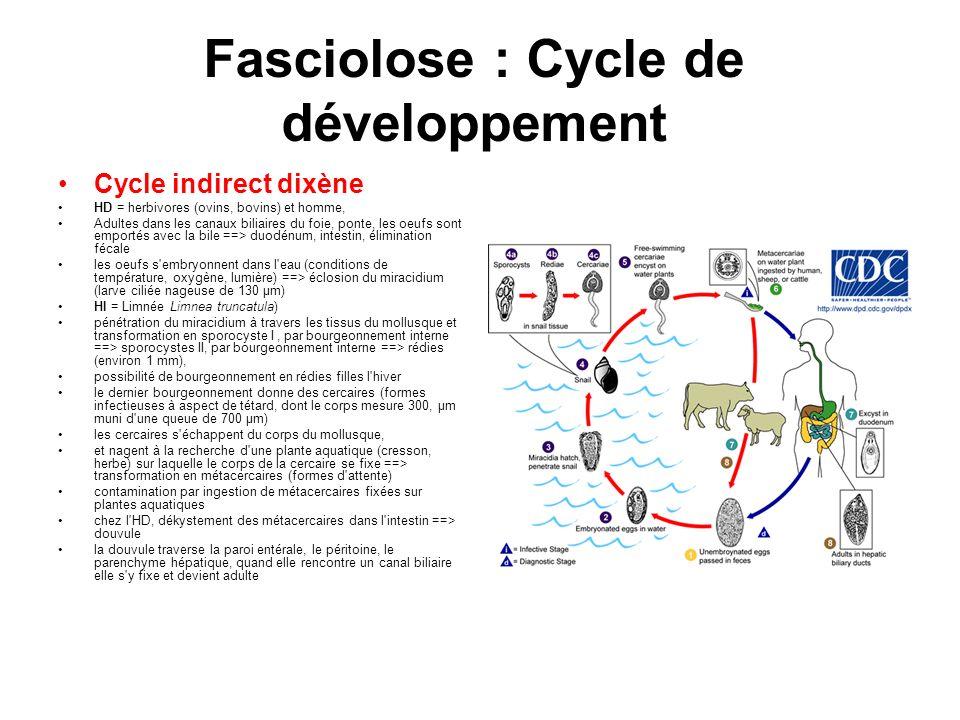 Fasciolose : Cycle de développement Cycle indirect dixène HD = herbivores (ovins, bovins) et homme, Adultes dans les canaux biliaires du foie, ponte,