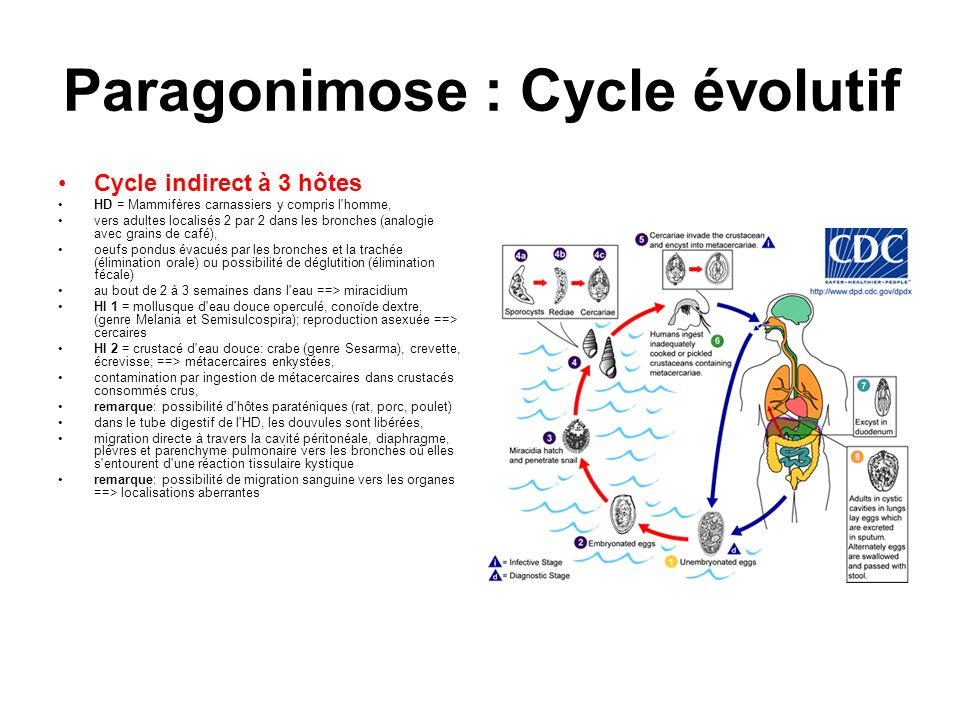 Paragonimose : Cycle évolutif Cycle indirect à 3 hôtes HD = Mammifères carnassiers y compris l'homme, vers adultes localisés 2 par 2 dans les bronches