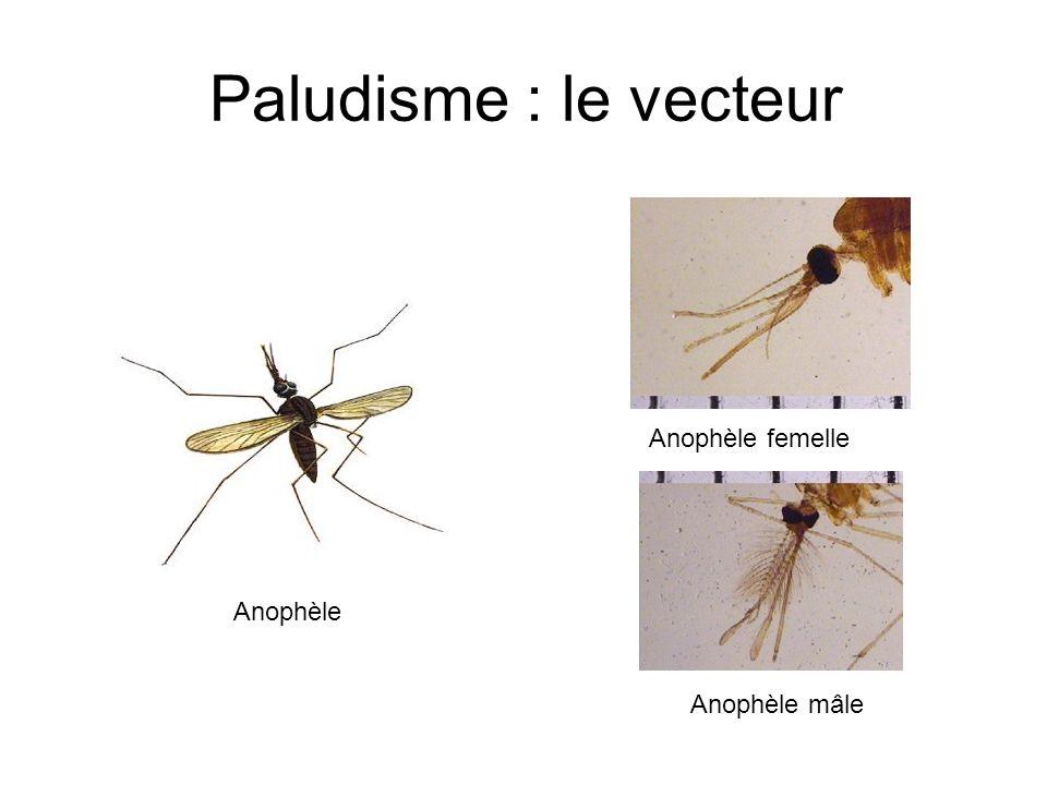 Paludisme : le vecteur Anophèle femelle Anophèle mâle Anophèle