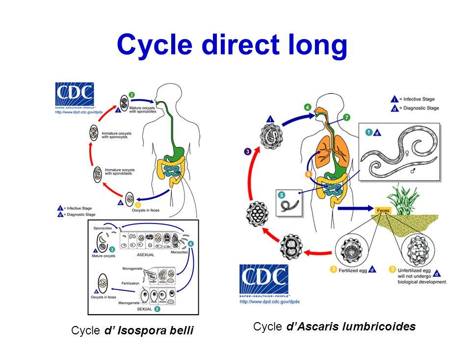 Cycle direct long Cycle d Isospora belli Cycle dAscaris lumbricoides