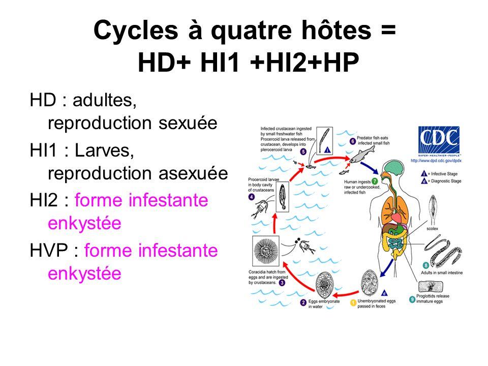 Cycles à quatre hôtes = HD+ HI1 +HI2+HP HD : adultes, reproduction sexuée HI1 : Larves, reproduction asexuée HI2 : forme infestante enkystée HVP : for