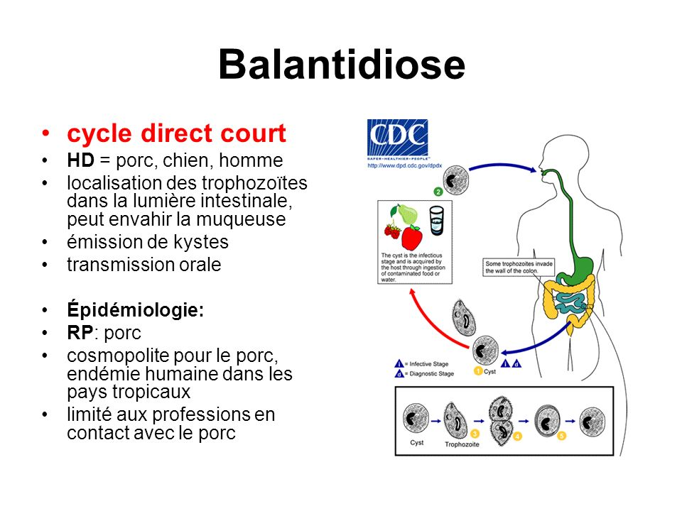 Balantidiose cycle direct court HD = porc, chien, homme localisation des trophozoïtes dans la lumière intestinale, peut envahir la muqueuse émission d