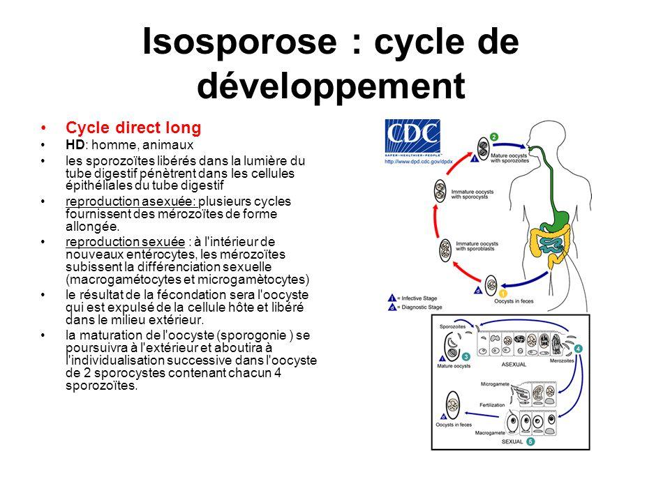 Isosporose : cycle de développement Cycle direct long HD: homme, animaux les sporozoïtes libérés dans la lumière du tube digestif pénètrent dans les c