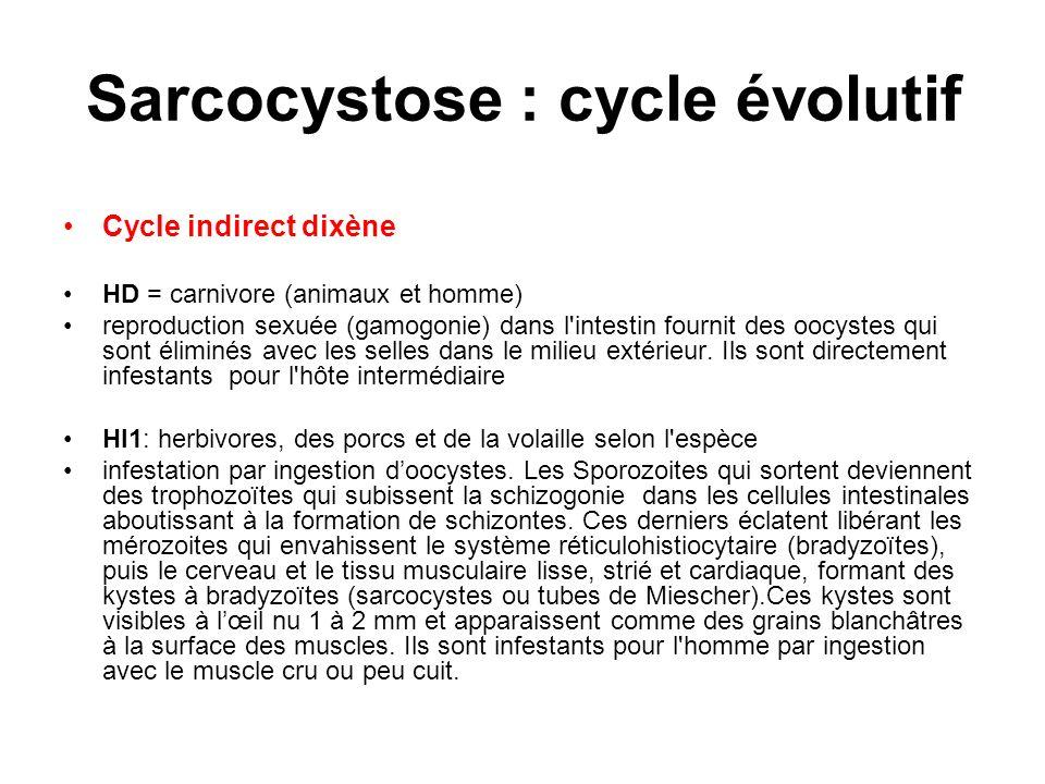 Sarcocystose : cycle évolutif Cycle indirect dixène HD = carnivore (animaux et homme) reproduction sexuée (gamogonie) dans l'intestin fournit des oocy