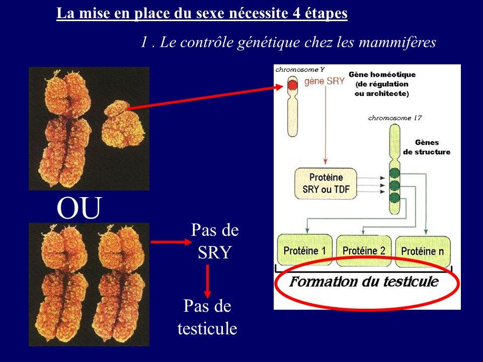 La mise en place du sexe nécessite 4 étapes 1. Le contrôle génétique chez les mammifères OU Pas de SRY Pas de testicule
