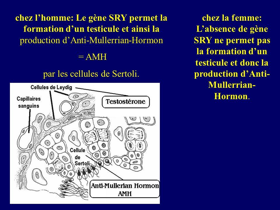 chez lhomme: Le gène SRY permet la formation dun testicule et ainsi la production dAnti-Mullerrian-Hormon = AMH par les cellules de Sertoli. chez la f