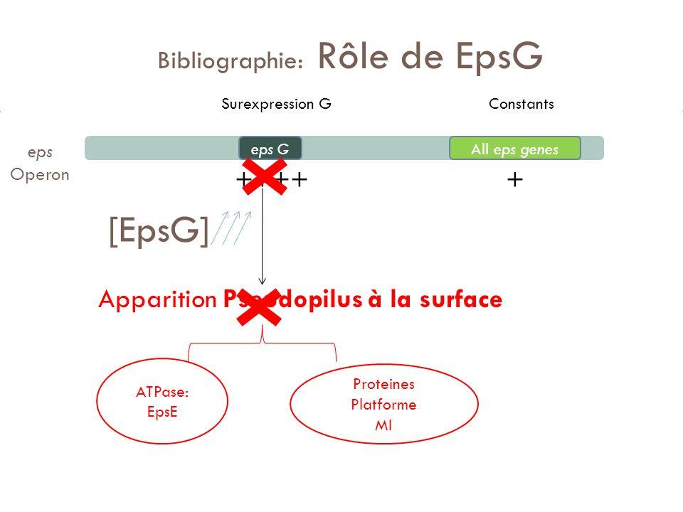 Bibliographie: Rôle de EpsG ++++ + Apparition Pseudopilus à la surface eps GAll eps genes Proteines Platforme MI ATPase: EpsE eps Operon [EpsG] Surexp
