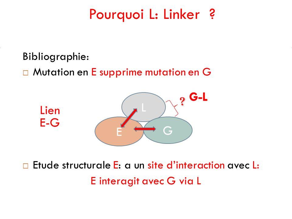 Pourquoi L: Linker ? Bibliographie: Mutation en E supprime mutation en G Etude structurale E: a un site dinteraction avec L: E interagit avec G via L