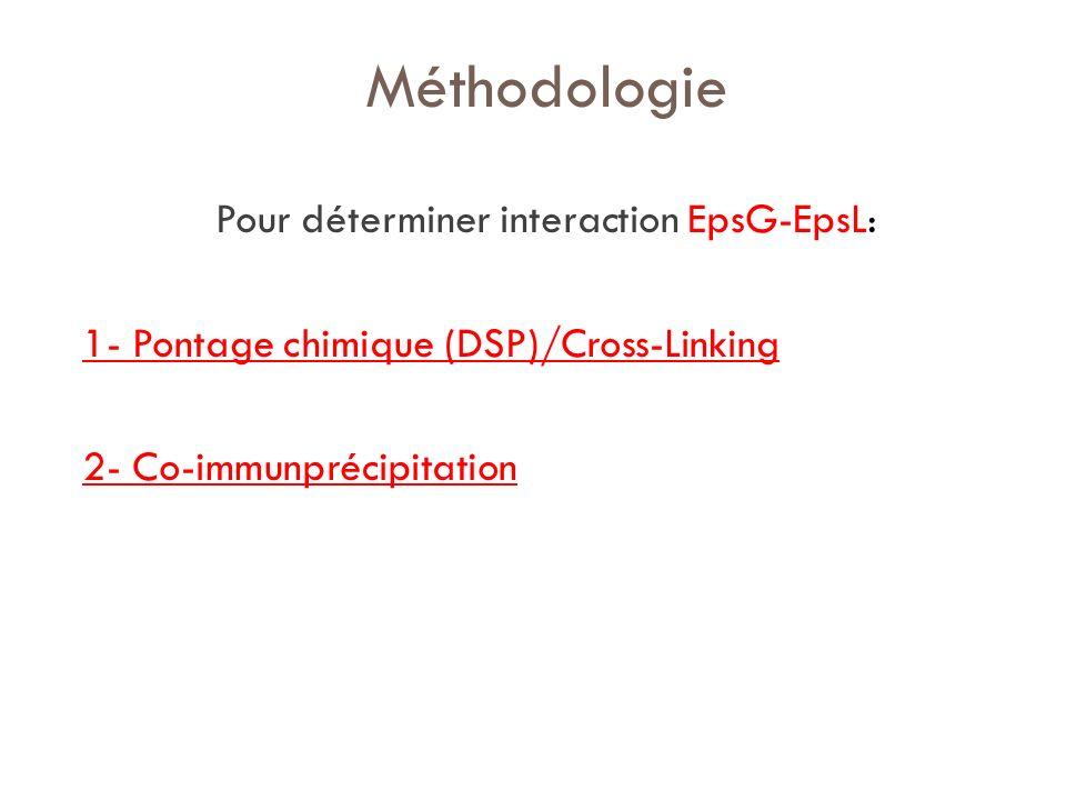 Méthodologie Pour déterminer interaction EpsG-EpsL: 1- Pontage chimique (DSP)/Cross-Linking 2- Co-immunprécipitation