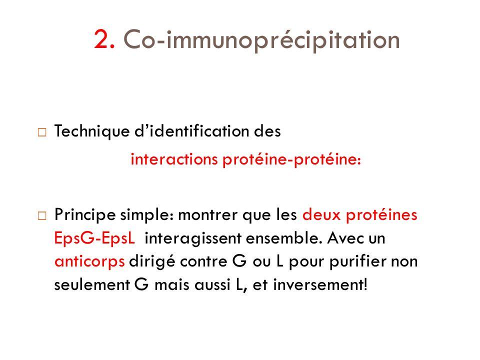 2. Co-immunoprécipitation Technique didentification des interactions protéine-protéine: Principe simple: montrer que les deux protéines EpsG-EpsL inte