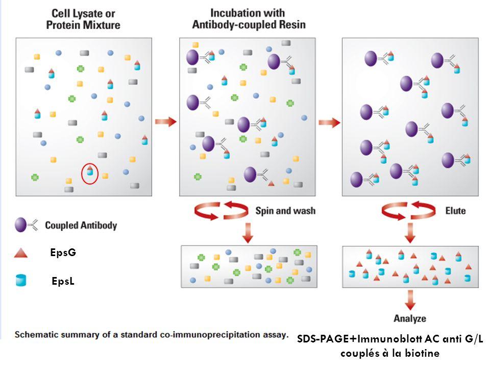 EpsG EpsL SDS-PAGE+Immunoblott AC anti G/L couplés à la biotine