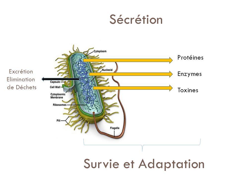 Substitutions T112 D91de EpsG WT mutantG+Plasmides : Immunoblott pour EpsG Absence G-L si résidus G substitués (D91E, T112L) Pas de Sécrétion si Résidus substitués: domaines conservés Chez ts homologues