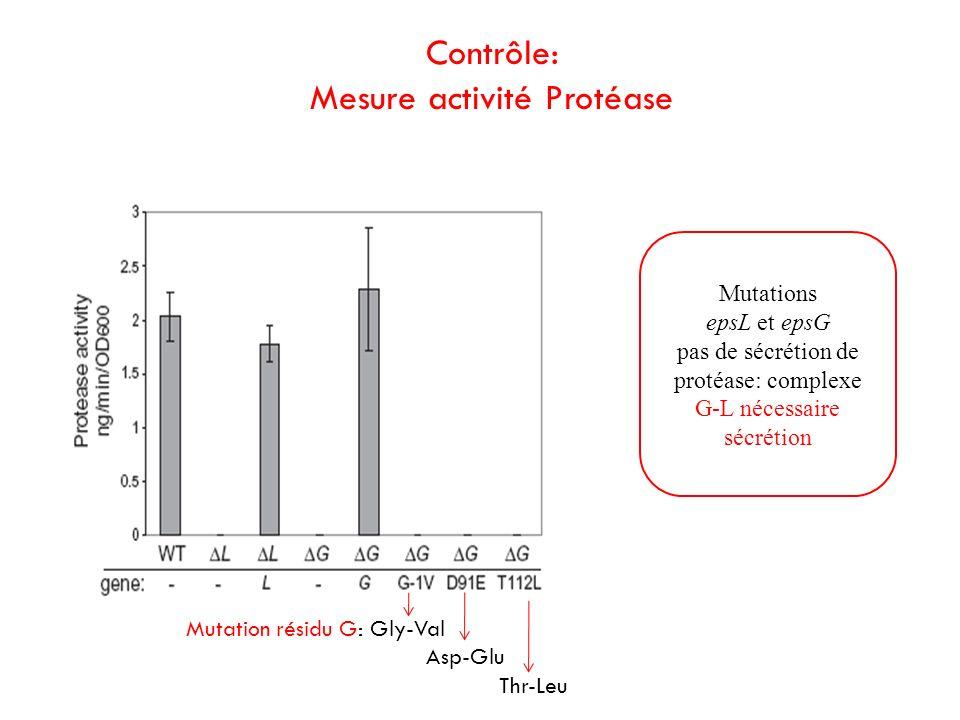 Mutation résidu G: Gly-Val Asp-Glu Thr-Leu Mutations epsL et epsG pas de sécrétion de protéase: complexe G-L nécessaire sécrétion Contrôle: Mesure act