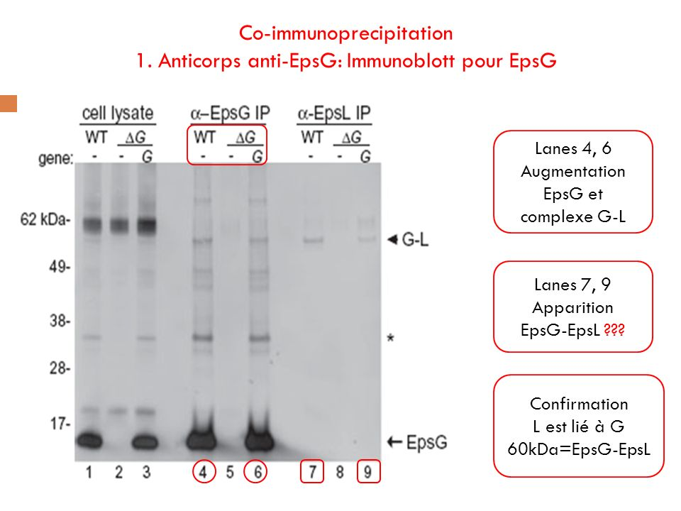 Co-immunoprecipitation 1. Anticorps anti-EpsG: Immunoblott pour EpsG Lanes 4, 6 Augmentation EpsG et complexe G-L Lanes 7, 9 Apparition EpsG-EpsL ???