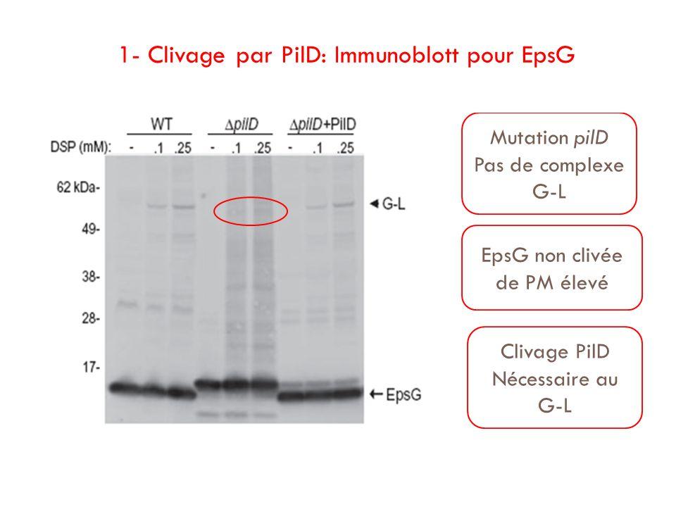 1- Clivage par PilD: Immunoblott pour EpsG Mutation pilD Pas de complexe G-L EpsG non clivée de PM élevé Clivage PilD Nécessaire au G-L