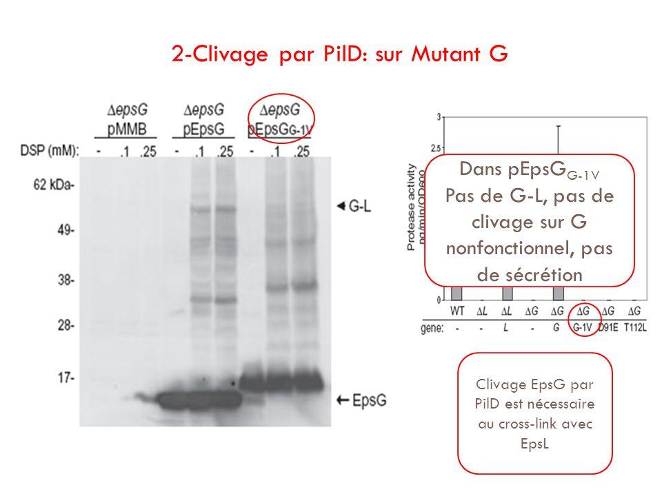 2-Clivage par PilD: sur Mutant G Clivage EpsG par PilD est nécessaire au cross-link avec EpsL Dans pEpsG G-1V Pas de G-L, pas de clivage sur G nonfonc