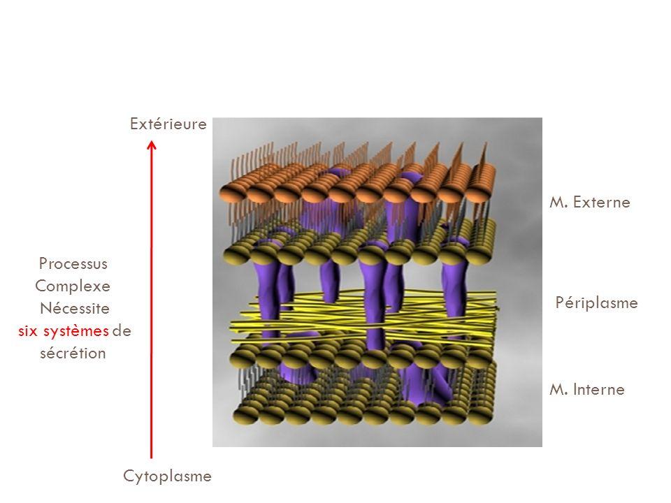 M. Externe Périplasme M. Interne Cytoplasme Extérieure Processus Complexe Nécessite six systèmes de sécrétion