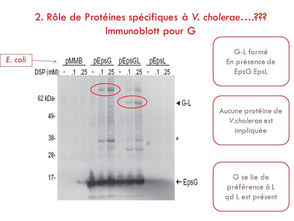 2. Rôle de Protéines spécifiques à V. cholerae….??? Immunoblott pour G E. coli G-L formé En présence de EpsG EpsL Aucune protéine de V.cholerae est im
