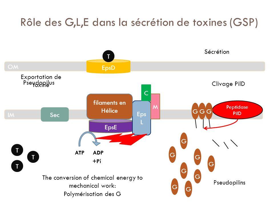 Rôle des G,L,E dans la sécrétion de toxines (GSP) ATP ADP +Pi OM IM EpsD EpsE EpsF Eps L M C Peptidase PilD T T T G G G G G Clivage PilD G G G G Pseud