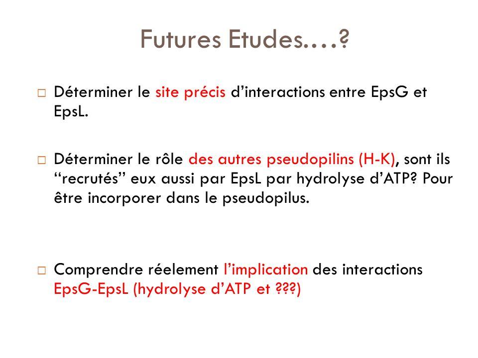 Futures Etudes.…? Déterminer le site précis dinteractions entre EpsG et EpsL. Déterminer le rôle des autres pseudopilins (H-K), sont ils recrutés eux
