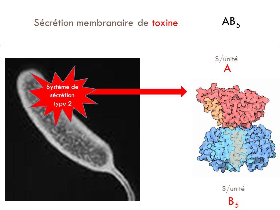 Sécrétion membranaire de toxine AB 5 S/unité A S/unité B 5 Système de sécrétion type 2